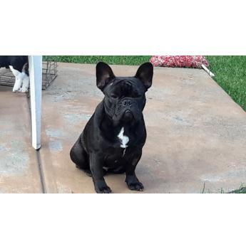 French Bulldog - French  Bulldog  desexed  female