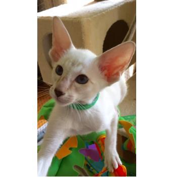 Chocolate tabby point Siamese kitten