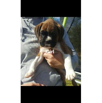 Boxer Puppies - flashy girl