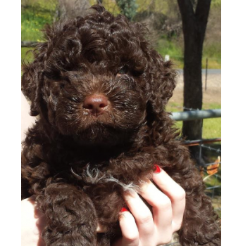 Lagotto Romagnolo Puppies - Pup from Previous Litter