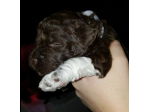 For Sale Lagotto Romagnolo Puppies