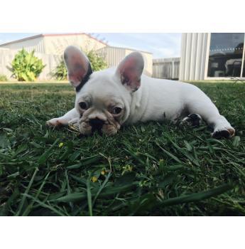 French Bulldog Puppy  -  Beautiful Pied Male