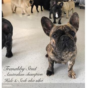 Tranabby French Bulldog Pups