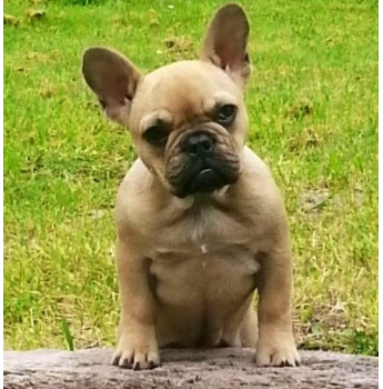 Tranabby French Bulldog Pups - Pup from Previous Litter