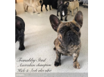 For Sale Tranabby French Bulldog Pups