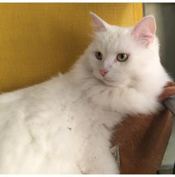 Siberian Adult Female desexed pet