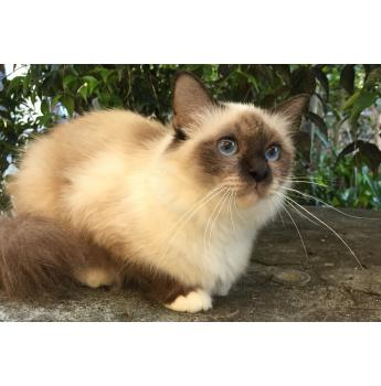 Birman adult seal point female availale