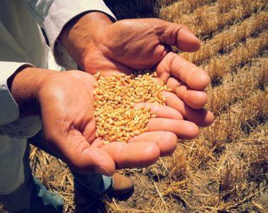 Australian Wheat Diseases