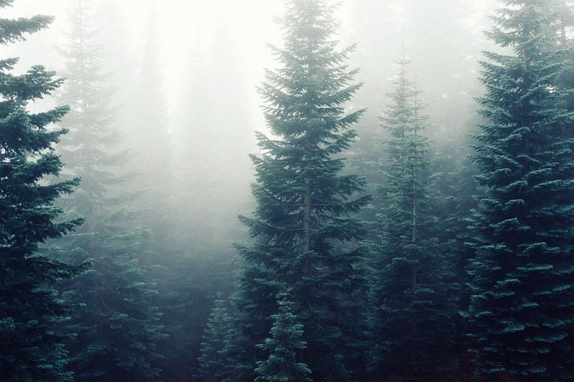Douglas firs softwood