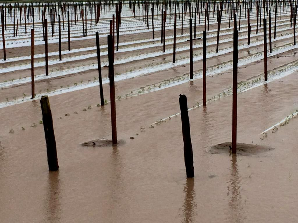 Tomato crops damaged by cyclone Ita