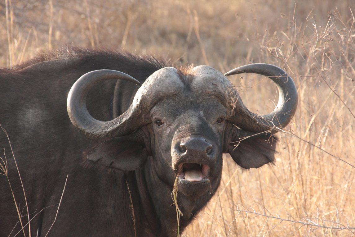 Outraged water buffalo