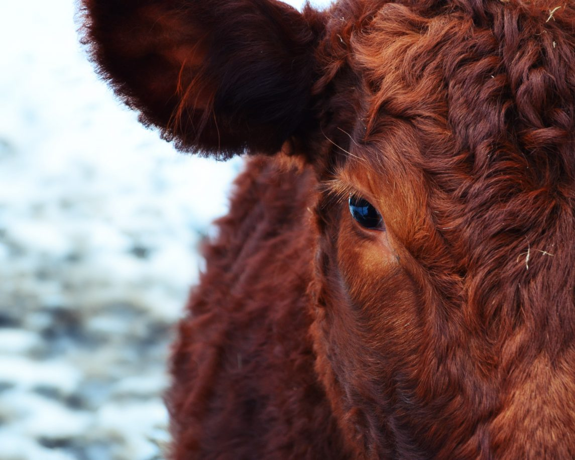 Why is the Government Killing Perfectly Good Cattle?