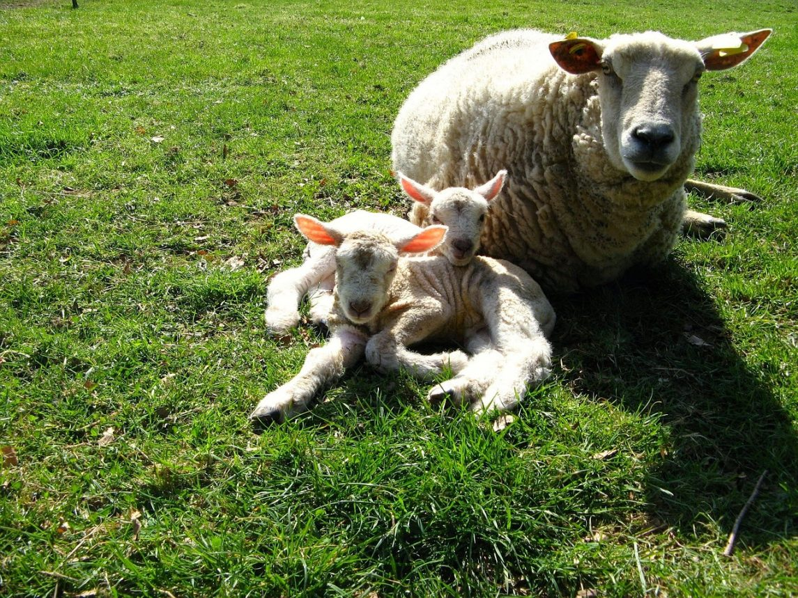 How to Prevent Lamb Loss