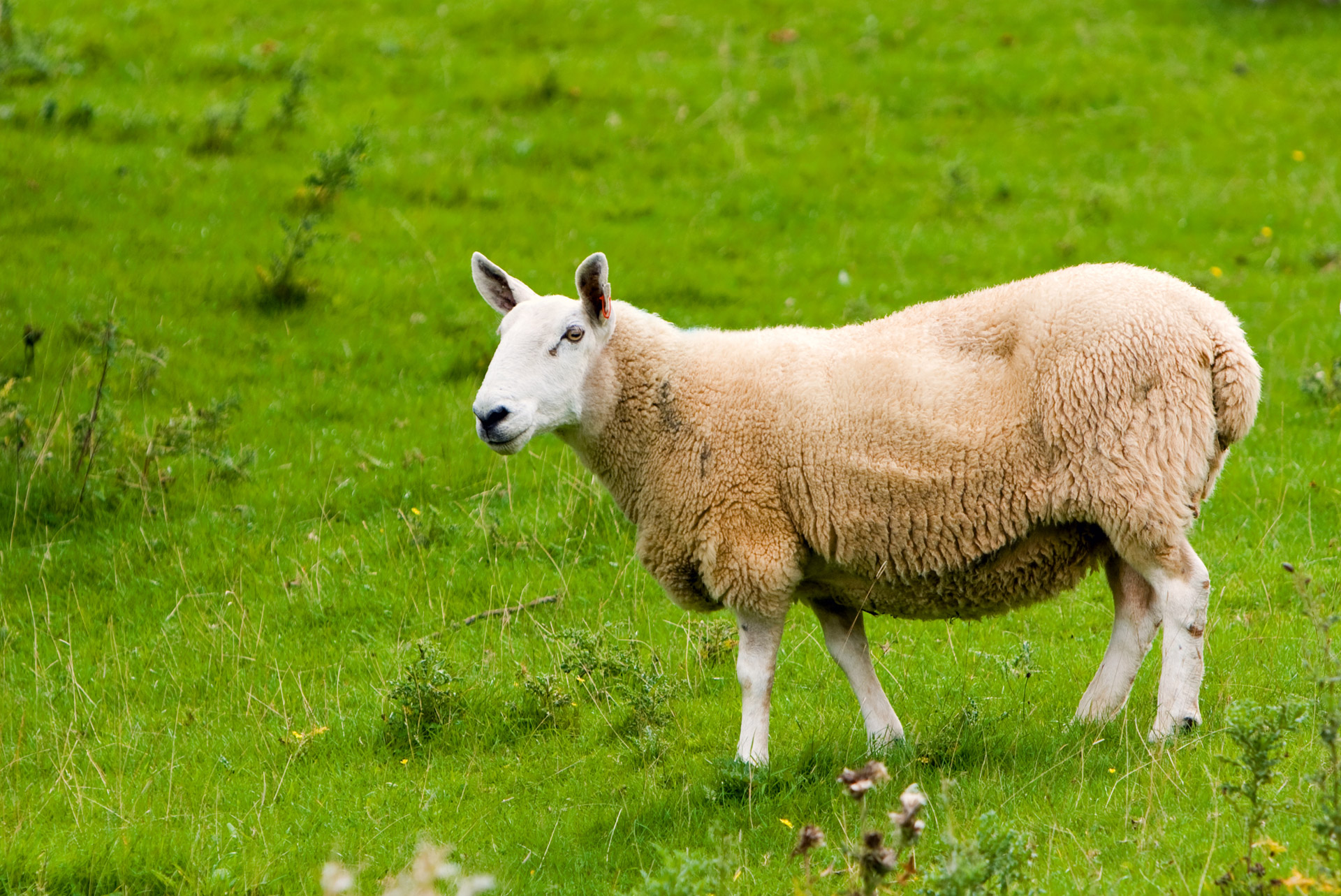 How to Select Sheep for Breeding