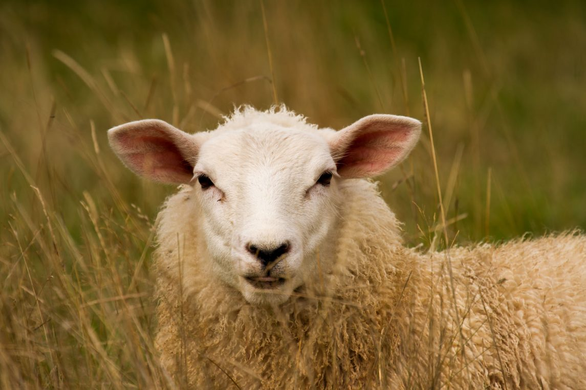 Sheep Breeding Moves Forward: CRC Flock Profiler Proves Accurate