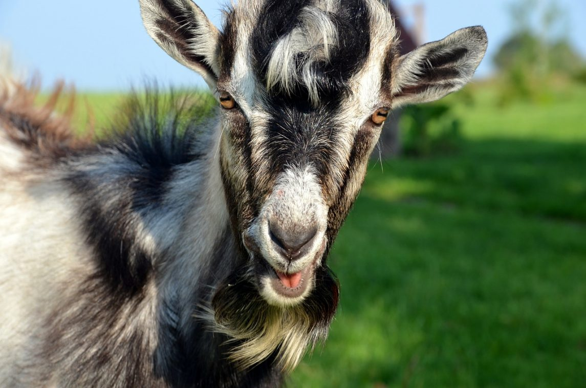 The Kids Are Alright: Drought Forces Farmer to Trade Cattle for Goats