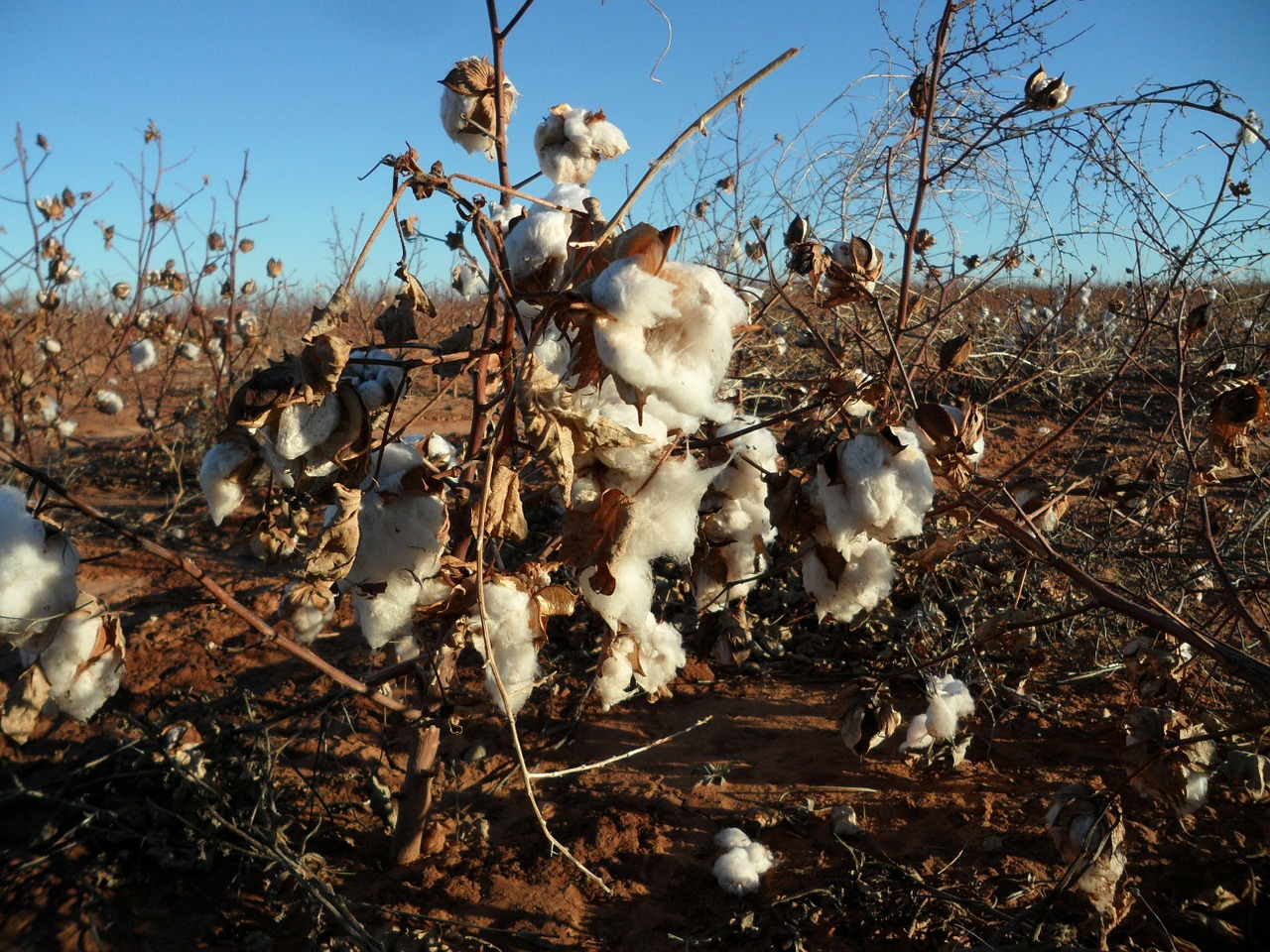 Aussie Cotton in High Demand Despite Data Woes