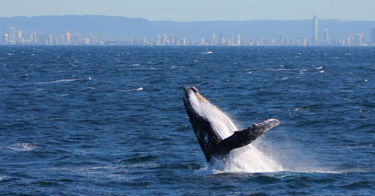 It's Whale Watching Season on the Gold Coast