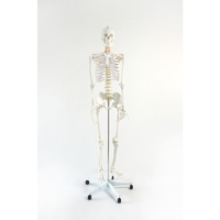 Life Size Human Skeleton Anatomical Model 180cm