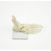 Foot Joint Life Size Anatomical Skeleton Model