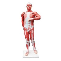 27pc Human Muscle System Life Size Anatomical Model