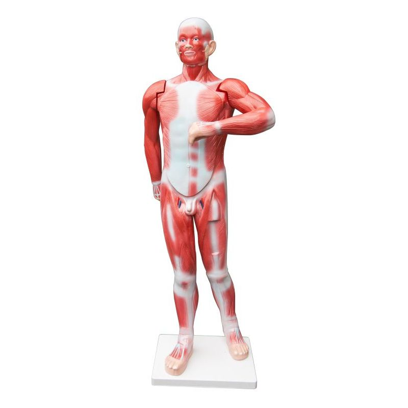 27pc Human Muscle System Life Size Anatomical Model | Buy Anatomical ...