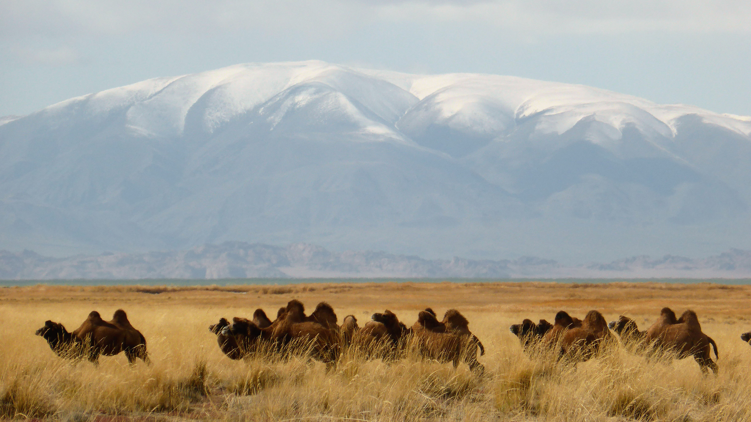 autumn pastures in Mongolia with camels