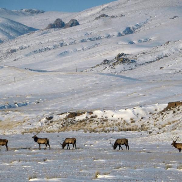 2019 Deers Roaming In Khustai