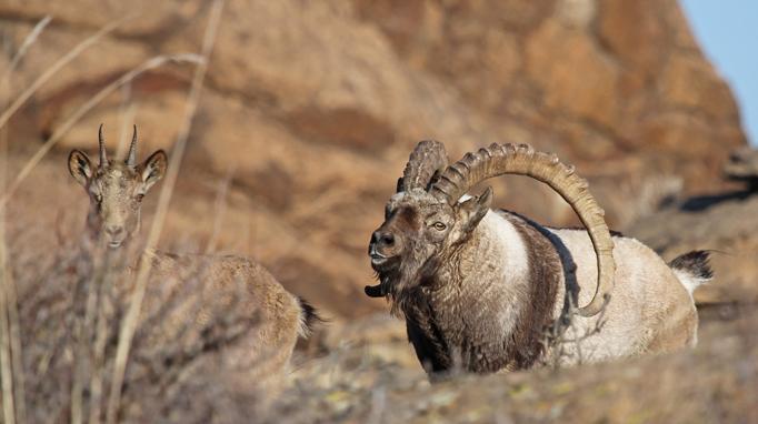 Ibexes, The Gobi Desert