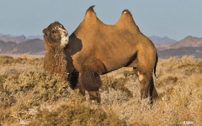 Wild Camel, The Gobi Desert