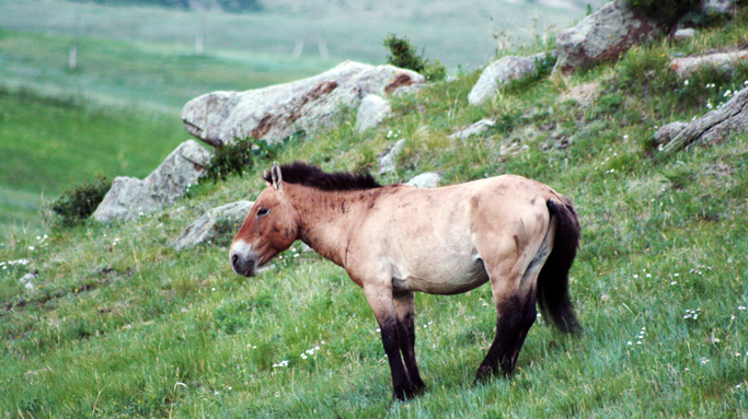 Wild Horse, Khustai, Central Mongolia