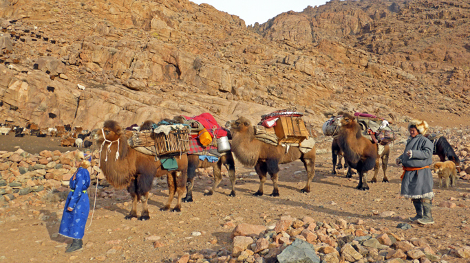Moving Mongolian nomads with camel caravan