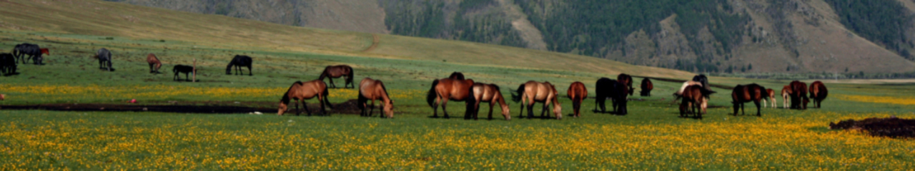 Horses Grazing In Mongolia