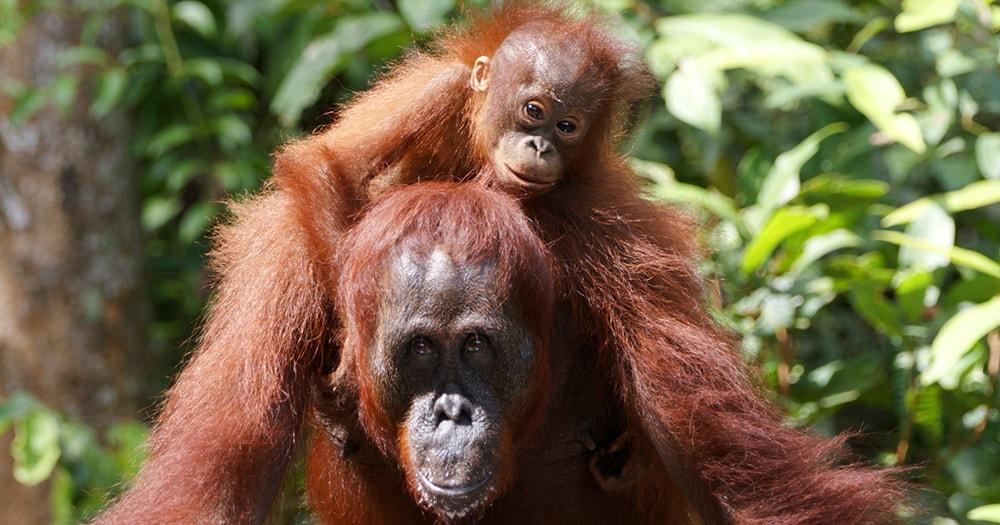 Zookeeper-Orangutan-Zookeeping