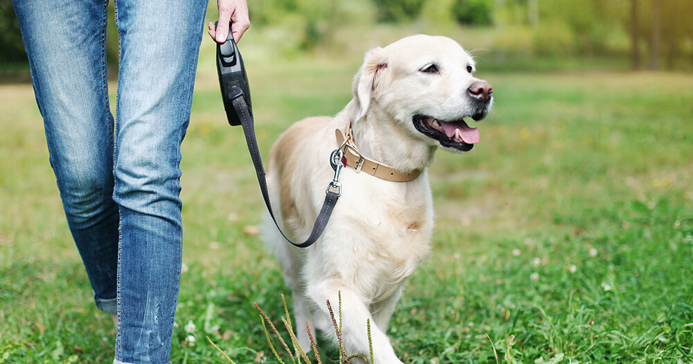 Walking the golden labrador dog - small goals