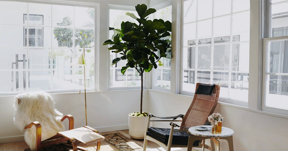 Fiddle leaf fig in home interior