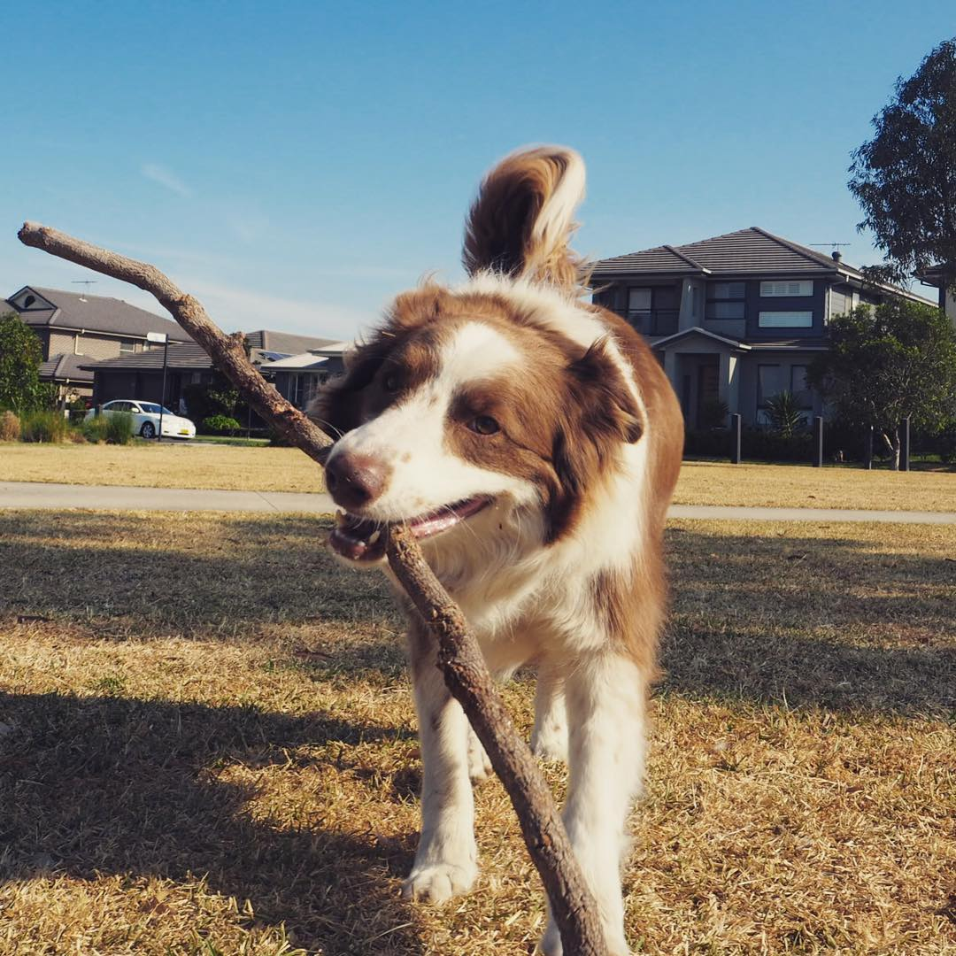 Darwin, chocolate Border Collie fetching a stick
