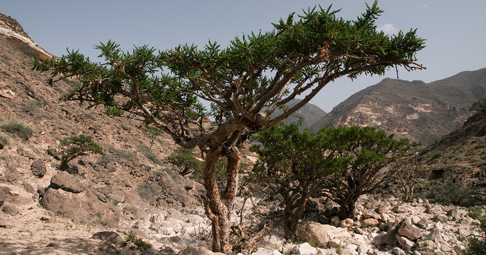 Frankincense oil comes from Boswellia sacra