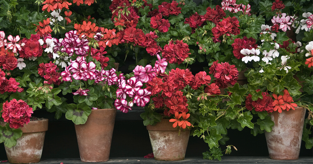 Geranium oil can come from beautiful coloured geranium flowers in pots