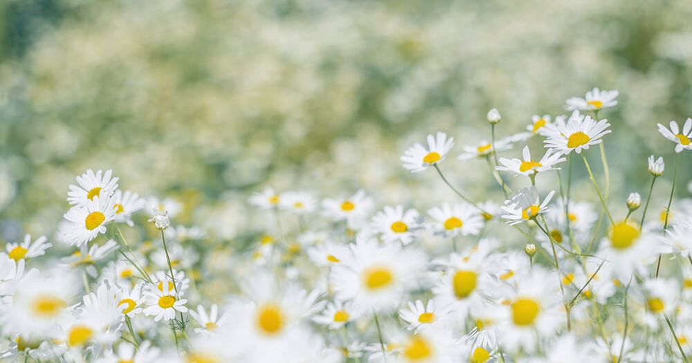 Field of Roman Chamomile oil flowers