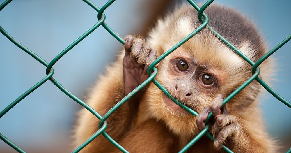 sad baby monkey in a cage - sustainable tourism - how to travel without ruining the planet