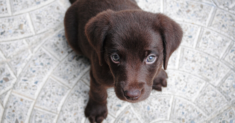 Simple ways to be happy might mean owning a cute brown chocolate labrador dog puppy with crystal blue eyes