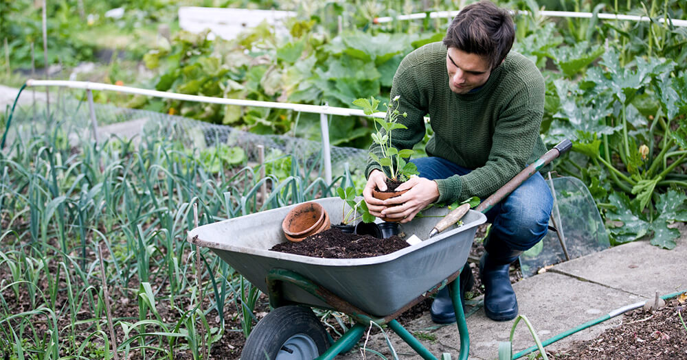 A local grower and male gardener potting and planting herbs in a wheelbarrow to sell to a green café