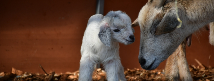 Goat Milk For Babies: When To Give And What Are Its Benefits?