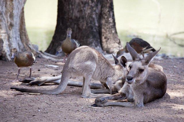 Kangaroos at Billabong Sanctuary