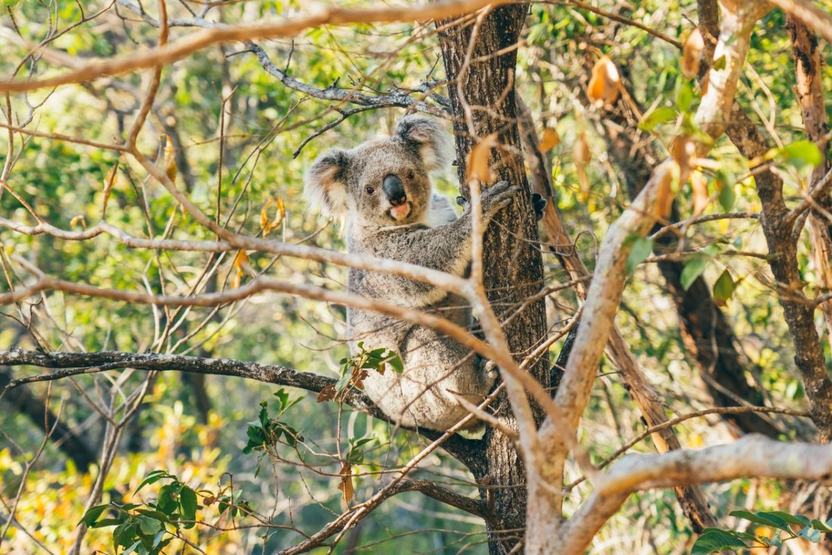 Koala by Tourism and Events Queensland