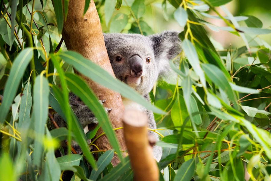 Northern Australia's biggest wild colony of Koalas are on Magnetic Island.