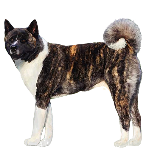 Akita - Full Breed Profile