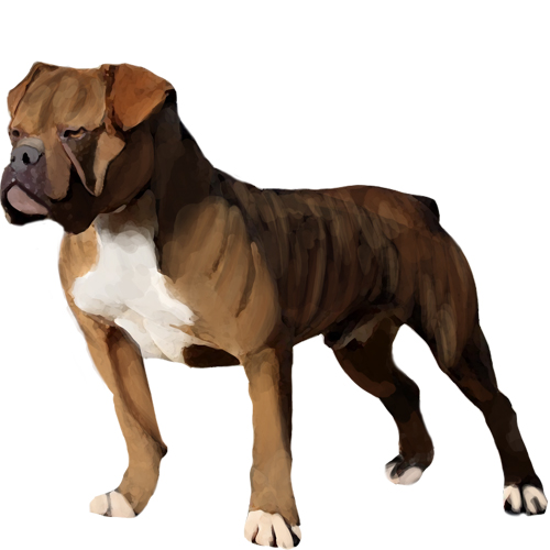 Australian Bulldog - Full Breed Profile