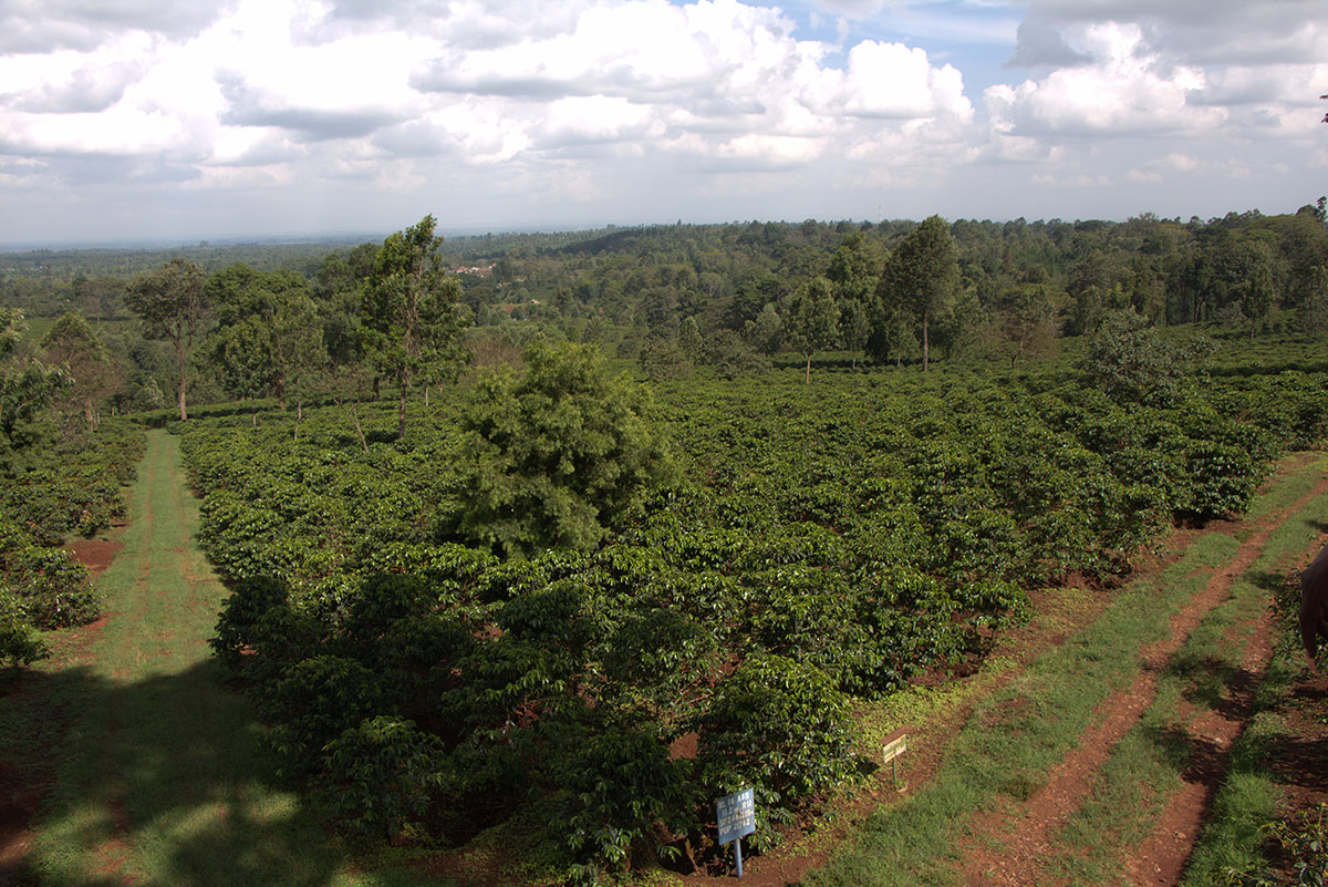 A Coffee Farm In Kenya